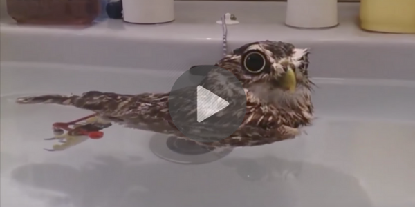 funny-owl-videos