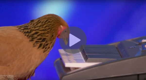 chicken plays piano